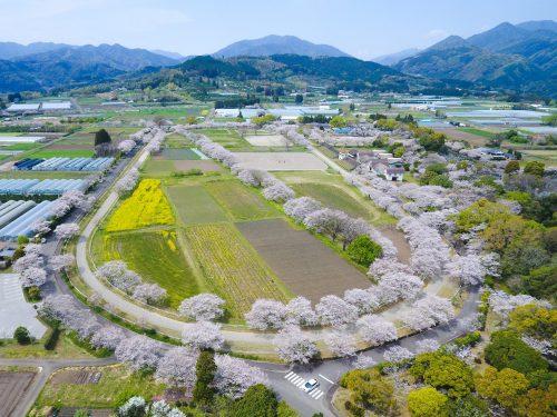 綾 馬事公苑の桜が見頃です